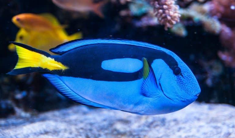 pallet doctor fish, surgeonfish, tropical fish